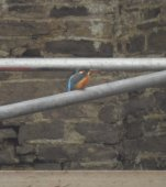Female kingfisher on scaffolding