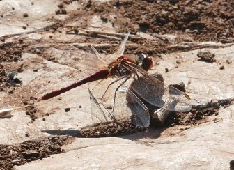 Red_v Darter BH 010719ML