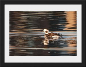 Photo 32 - Long Tailed Duck by Keith McGinn