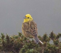 Yellowhammer - Cuckoo Ball - 17/5/17