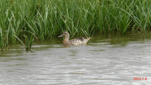 Female Garganey