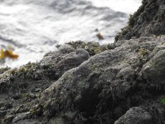 Camouflaged Purple Sandpiper