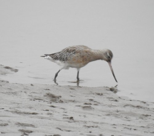 Bar tailed Godwit at Fremington Pill mouth
