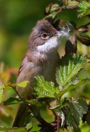 Whitethroat.