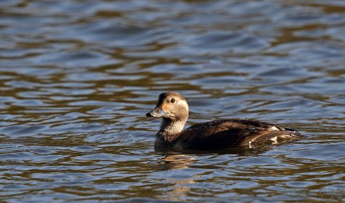 Juvenile Long Tailed Duck
