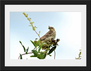 Photo 23 - Tree Pipit by Mark Sturman