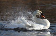 Mute Swan splashing around in the pond.