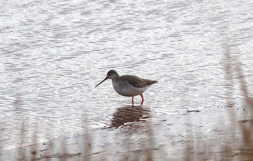 Spotted Redshank showing well