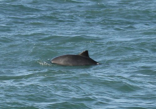 Porpoise, Berry Head.