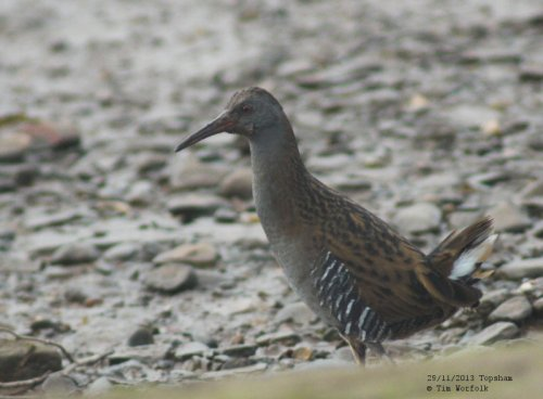 Water Rail - Topsham 29/11/2013