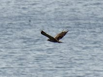 Osprey record shot