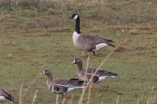 2 White Fronted Geese with Canada Goose -South Huish- 25.2.15