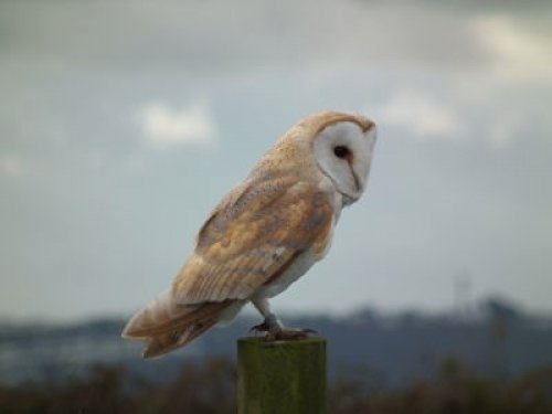 Barn Owl veletor