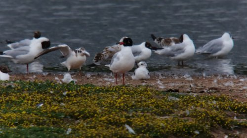 adult Mediterranean Gull + Ross's Gull sat down