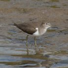 Common Sandpiper - Avon Estuary