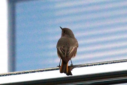 Black Redstart showing well at the Sailing Club Exmouth