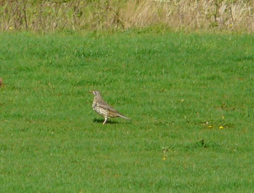 mistle thrush - scarce on Orcombe