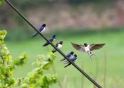 Swallows