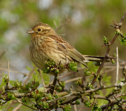 Cirl Bunting Female test 897 X 787px 137kb saved for web