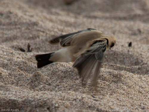 Desert Wheatear (flying)- Thurlestone - 16.11.2016