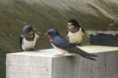 Swallow family party (2nd juv. was on fence above)