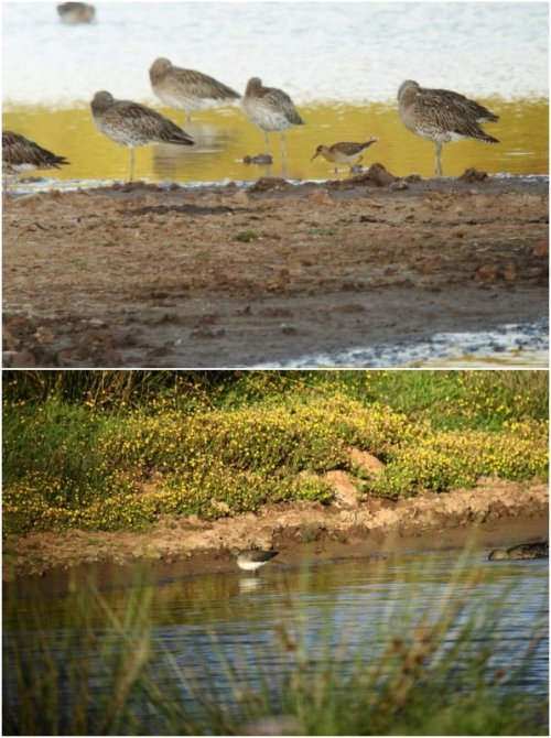 Ruff (Top) & Green Sandpiper (Bottom)