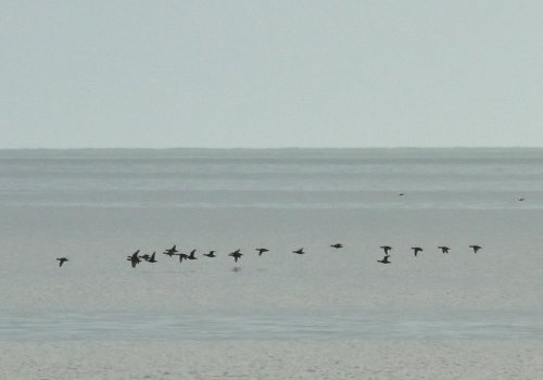 Common scoter flock, Preston