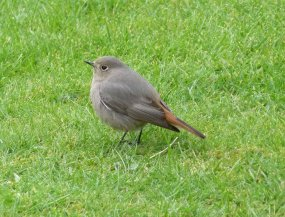 black Redstart Clennon Valley 25 March 2013 ML