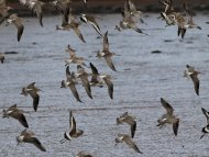 Godwits at Topsham