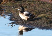 Scaup showed well at Mudbank