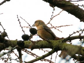 Common Crossbill immature male, with pale wing bars