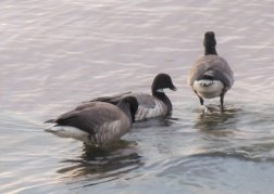 Pale-bellied Brent Geese.