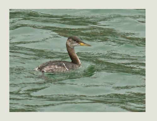 Red-necked Grebe In the inner harbour Brixham.