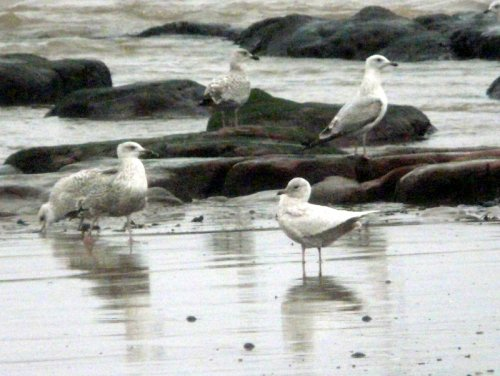 fw iceland gull on beach by Maer Rocks