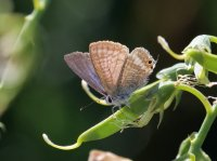 Long-tailed Blue female