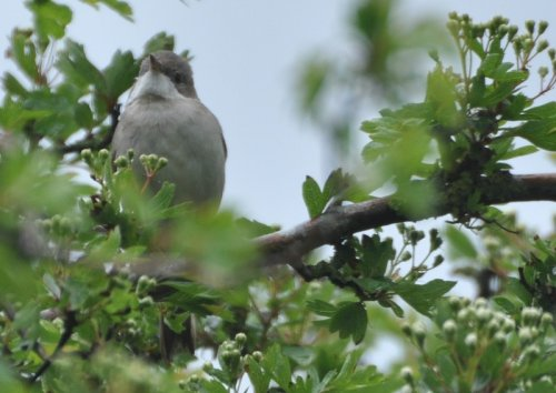 Common or Lesser Whitethroat?