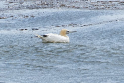 Gannet, Batten Bay, Plymouth