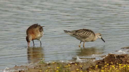 Ruff (right) & Black-Tailed Godwit @ BGM