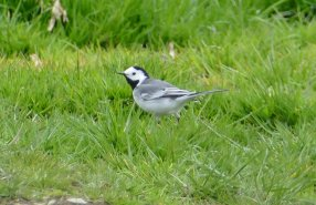 White Wag male Hillhead 060418 ML