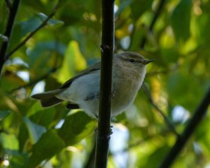 tristis Chiffchaff Clennon Valley 14 Nov 13 ML
