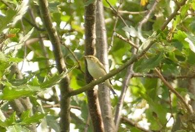 Yellow-browed Warbler Clennon Lakes 23 Oct 2018 ML