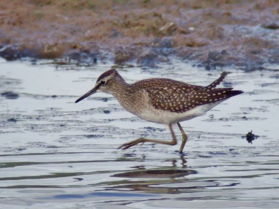 Juv Wood Sandpiper at Black Hole Marsh