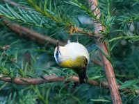 Firecrest with food item