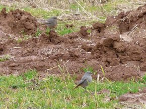 Black Redstarts Broadsands 25 March 2013 ML