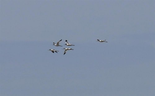Avocets at Thurlestone