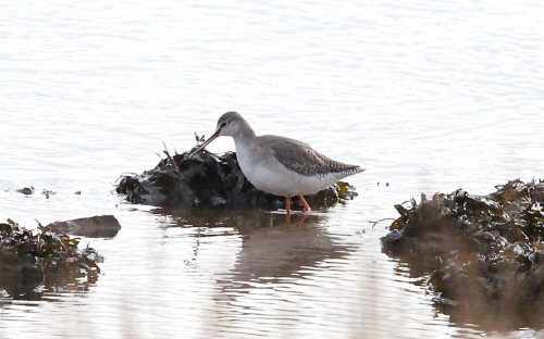Spotted Redshank by the Viewing platform