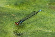 Small red-eyed damselfly, male