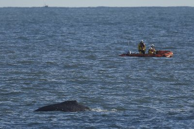 Freed Humpback Whale being monitored by RNLI