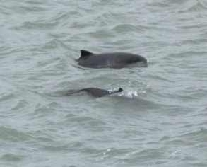 Porpoises Berry Hd10 May 2013 ML