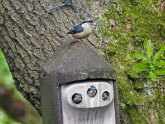 Nuthatch at nest 'box'